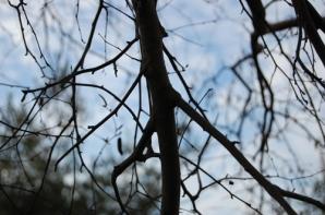 Kelsey tree