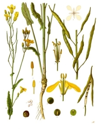 brassica_napus_-_kohler-s_medizinal-pflanzen-169